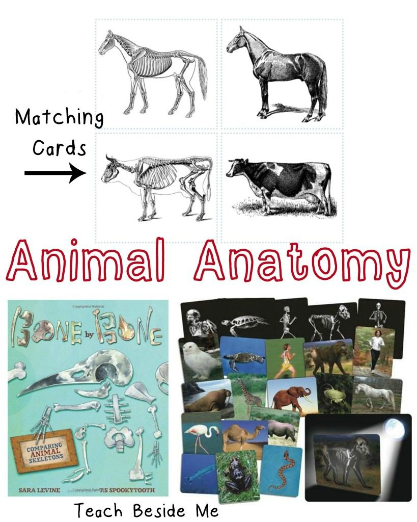 Animal Skeleton Matching Cards – Teach Beside Me - Free Printable Animal X Rays