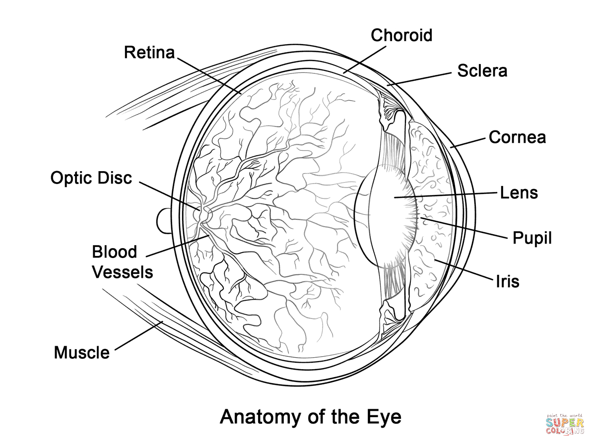 Human Eye Anatomy Coloring Page | Free Printable Coloring Pages - Free Printable Human Anatomy Coloring Pages