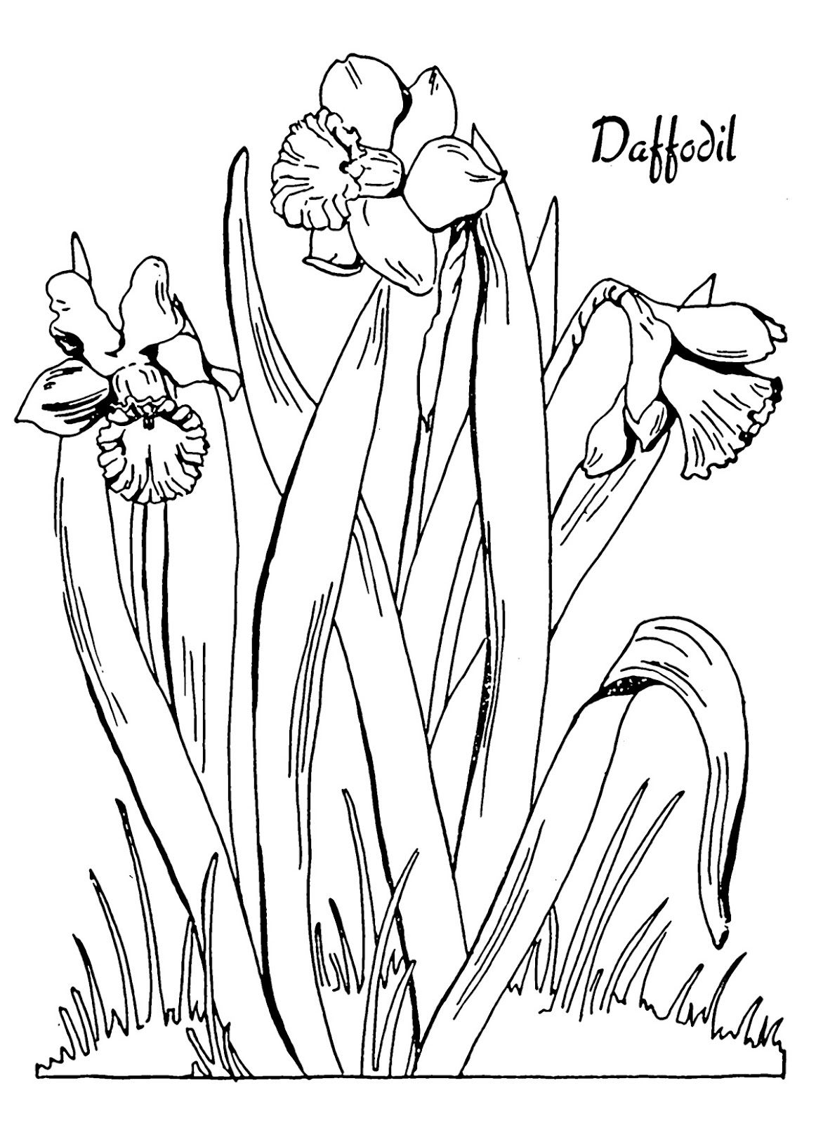 Kids Printable - Daffodil Coloring Page | Zcards (Flowers/leaves - Free Printable Pictures Of Daffodils
