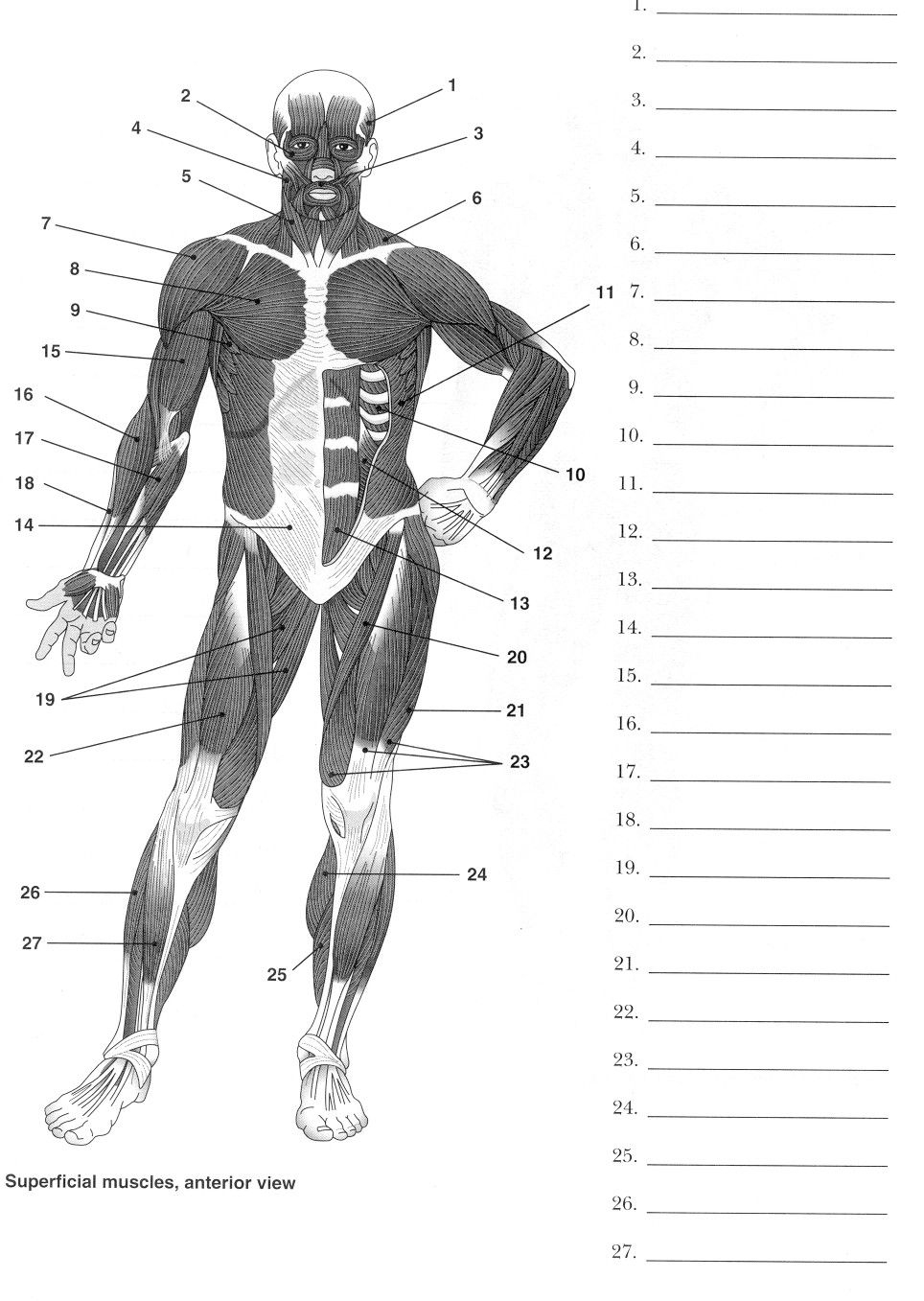 Label Muscles Worksheet | Body Muscles | Pinterest | Muscle Anatomy - Free Printable Muscle Flashcards