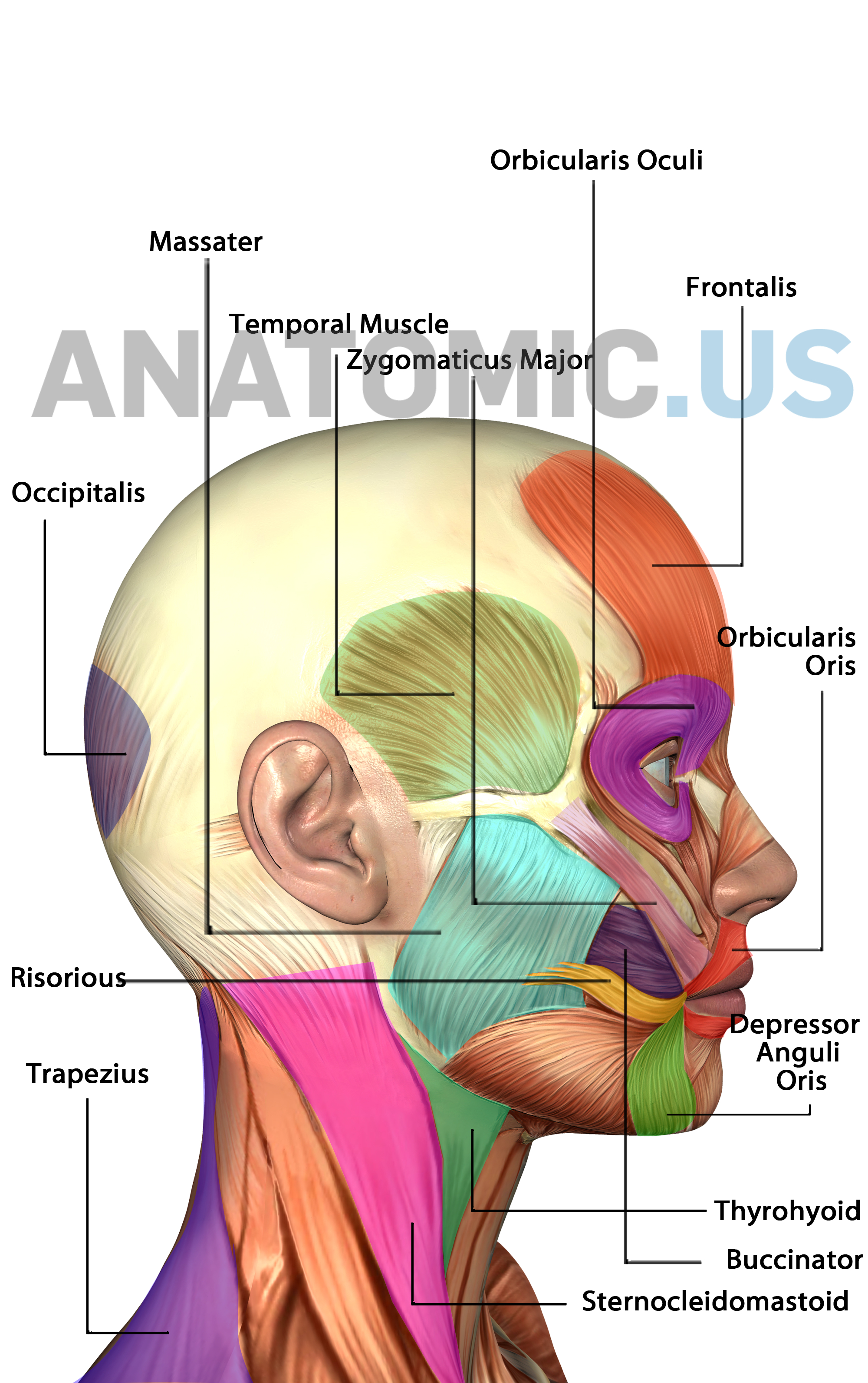 Muscles Of Face - Anatomy Flashcards - Anatomic Muscles Of Face - Free Printable Muscle Flashcards