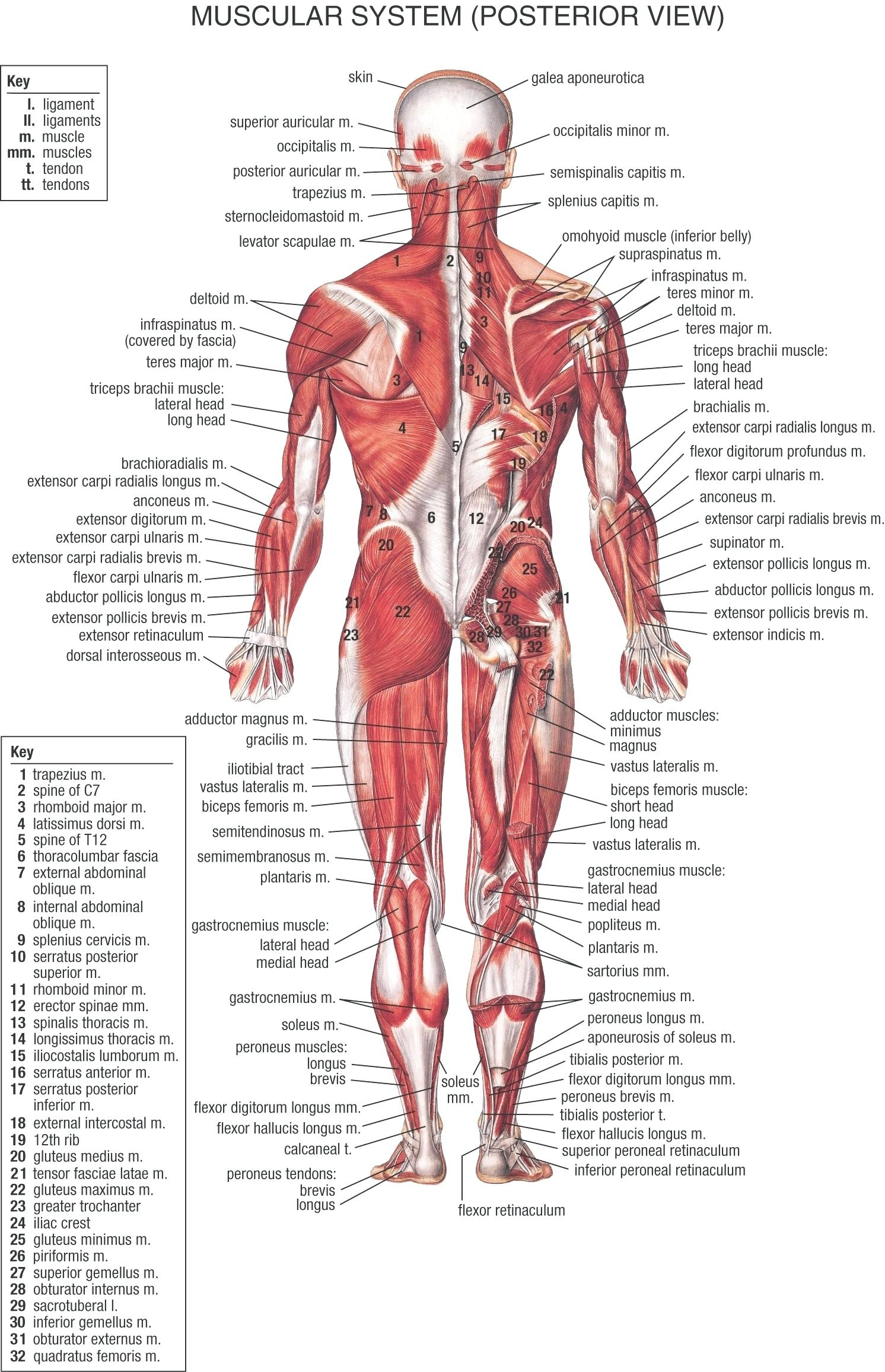 Spanish Body Parts Worksheet – Doublerbitcoin.club - Free Printable Muscle Flashcards